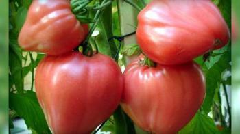 Академия томатного вкуса