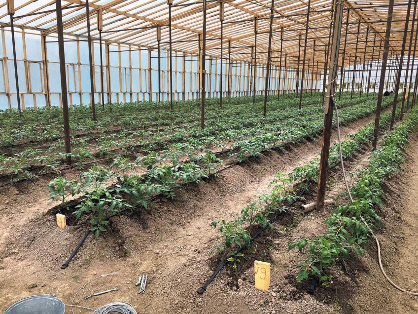 Вкусные и свежие томаты круглый год